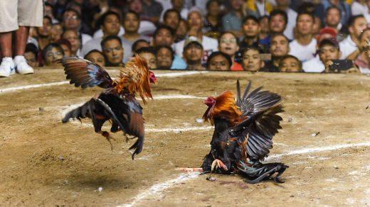Macam-macam Alasan Berjudi Sabung Ayam di Situs S128